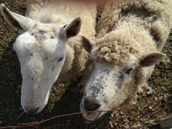 Ash Mill Farm :                   Sheep