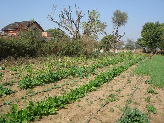 Rajesh Jangid Tourist Pension:                   organic farm