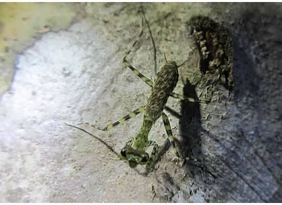 Copa de Arbol Beach and Rainforest Resort:                   Mantis