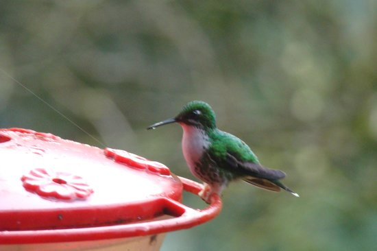 San Jorge Eco-Lodge & Botanical Reserve:                   Hummingbirds everywhere at San Jorge Tandayapa