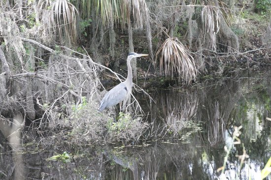 Circle B Bar Reserve:                   blue heron