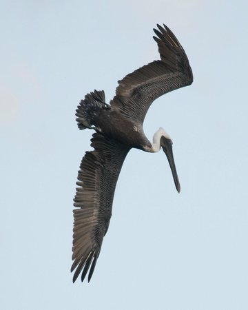 LemonTree Oceanfront Cottages:                   Resident Pelican Diving for Breakfast