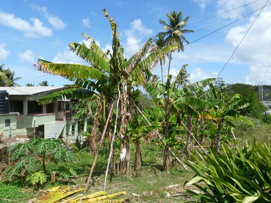 Plantation Beach Villas: Hillside bananas close to the villas