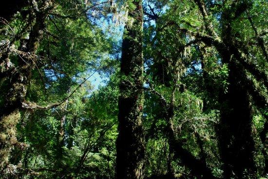 Queulat National Park:                   bosque encantado