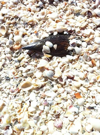 South Seas Island Resort: Sea Shells on the beach