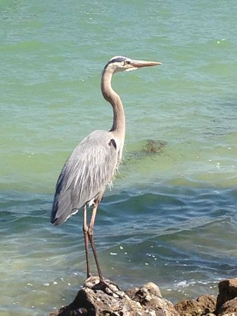 South Seas Island Resort: A Heron next to the swimming pool