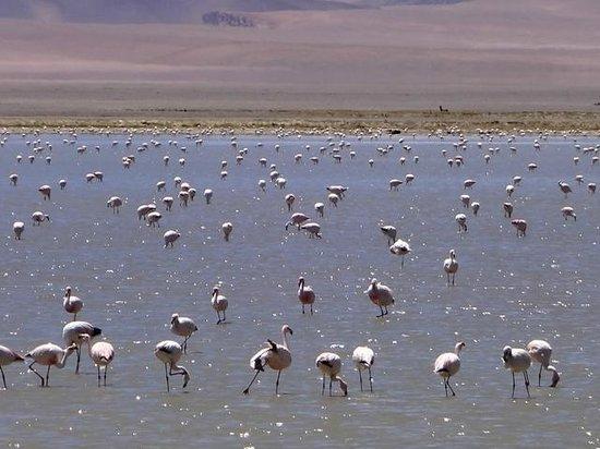 Salar de Tara - Milhares de flamingos