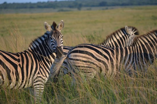 andBeyond Phinda Forest Lodge: Zebra