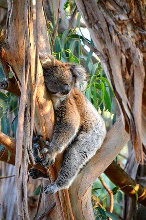 Hanson Bay Wildlife Sanctuary:                   A very sleepy koala.