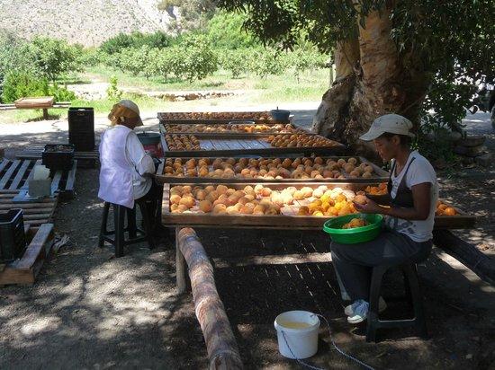 Saxe-Coburg Lodge:                   Fruit preparation for drying-Adam's Fig Farm