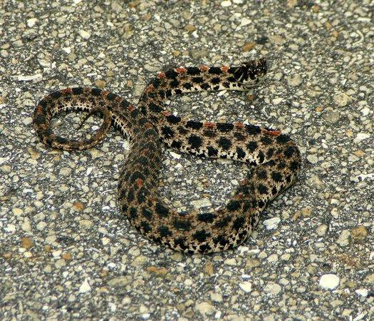 Gen. James A. Van Fleet State Trail: dusky pygmy rattlesnake on the pavement part of  the trail
