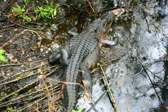 Gen. James A. Van Fleet State Trail: alligator