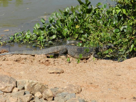 Gems Garden Guest House & Restaurant:                   Water monitor by the lagoon  near our room