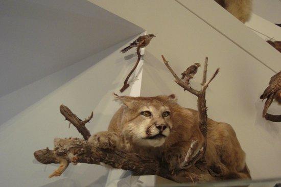 Cougar in melbourne
