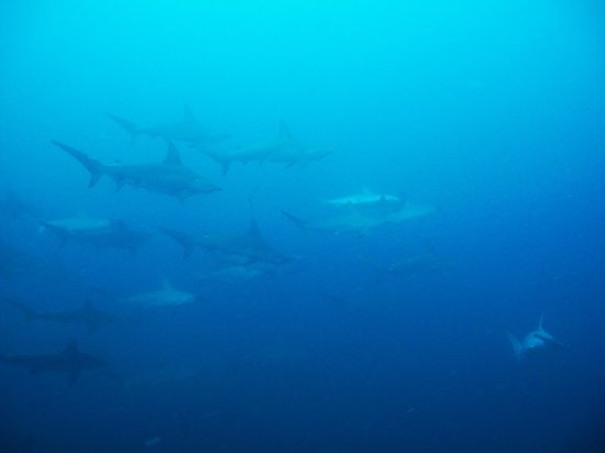 Aqua Planet Dive Center and Charter:                   Requins Marteaux