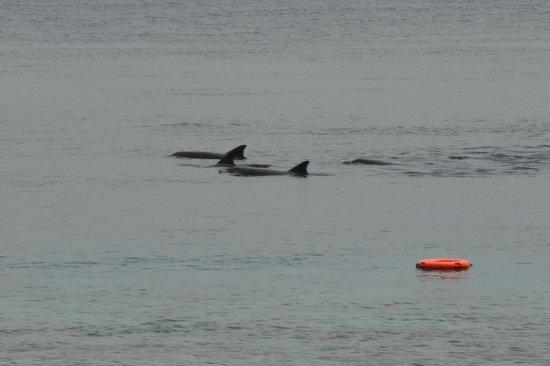 Kuramathi Island Resort:                                     Dolphins from our Villa