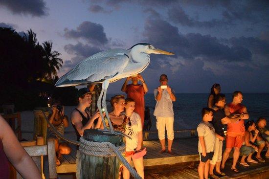 Kuramathi Island Resort:                                     Heron at the Stingray feeding