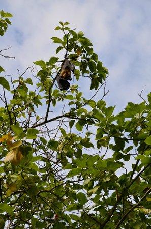 Kuramathi Island Resort:                                     Fruit bat