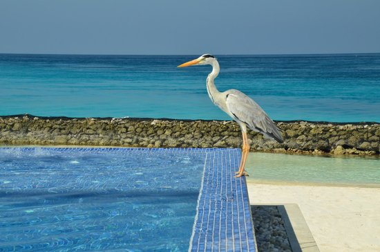 Kuramathi Island Resort:                                     Heron standing Stag at infinity pool