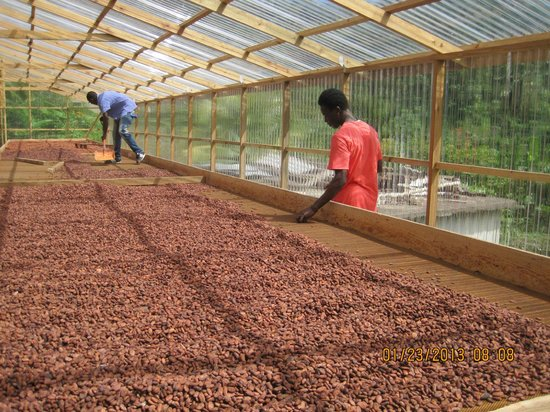 The Grenada Chocolate Company:                   stirring the drying beans