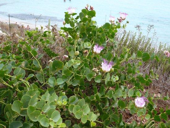 Spiaggia dei Conigli: piante di capperi in fiori a giugno