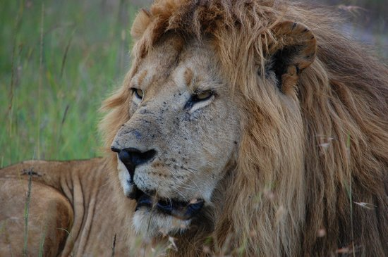 Oloshaiki Camp:                   A beautiful lion...
