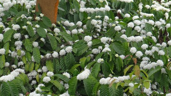 Aranyakam:                   coffee plant