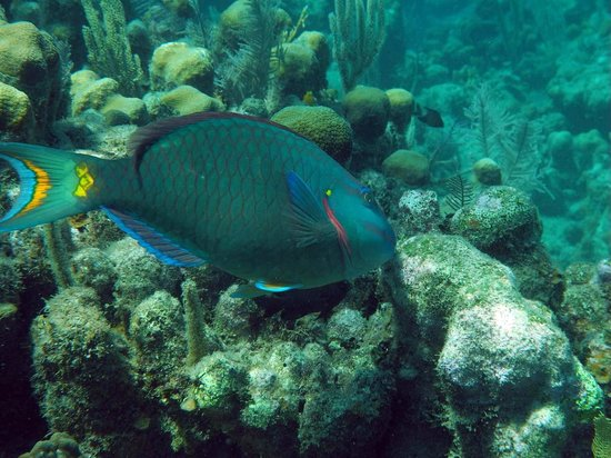 Anthony's Key Resort:                   Parrotfish