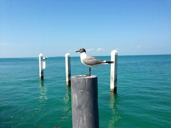 Sunset Key Cottages:                   sea gull on dock