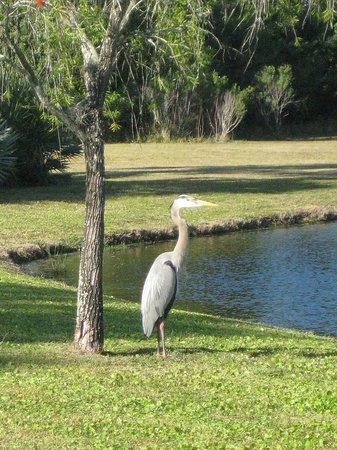 Hyatt Residence Club Bonita Springs, Coconut Plantation:                   A heron and an alligator in the secluded pond area behind the pools.