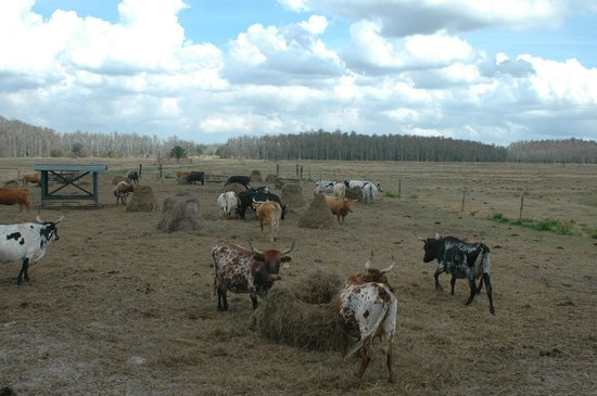 Forever Florida: Cracker Cows