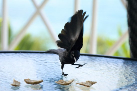 Beach View:                   Grackles are plentiful and are always on the lookout for scraps