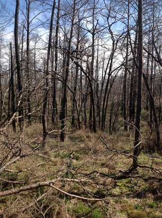 Bastrop State Park:                   No mistaking that there was a terrible fire here in 2011