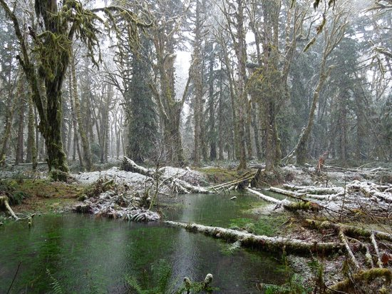 Quinault Rain Forest: north shore of Lake Quinault