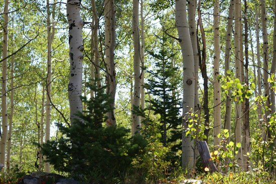 Waldorf Astoria Park City:                   The aspens up at the Canyon Ski Area