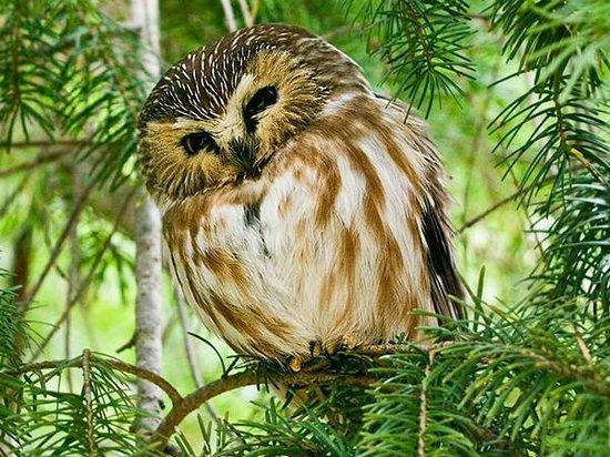 George C. Reifel Migratory Bird Sanctuary: Northern Saw-whet Owl