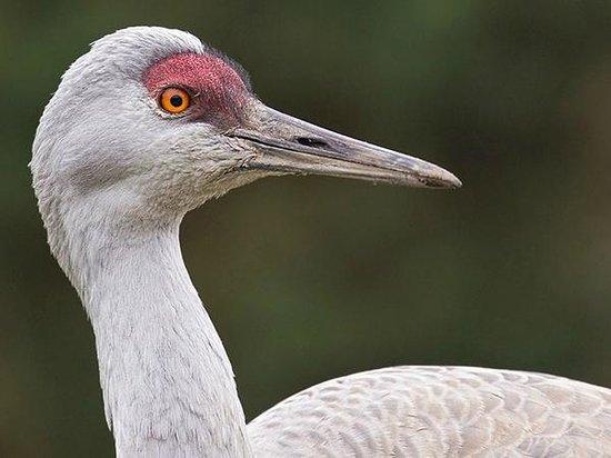 George C. Reifel Migratory Bird Sanctuary: Sandhill Crane