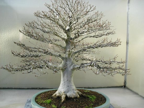 Federal Way, Waszyngton:                   Beautiful Bonsai