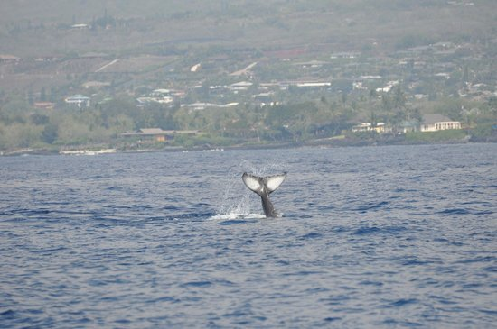 Captain Dan McSweeney's Whale Watching Adventures:                   Whale off Kona coast