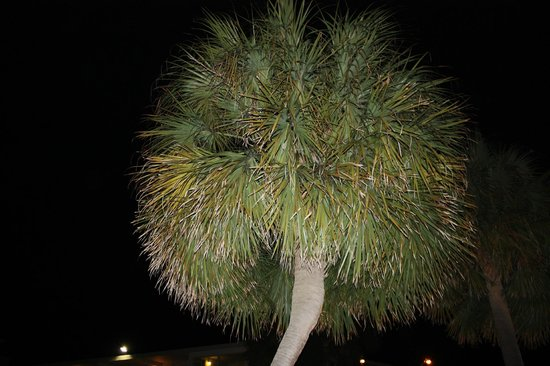 Best Western Plus Grand Strand Inn & Suites: Palm tree outside our room