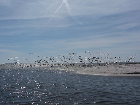 Lower Suwannee National Wildlife Refuge:                                     White pelicans and shorebirds