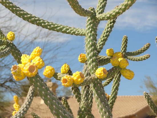 Gold Canyon Resort - Sidewinder Golf Course :                   Flowering cactus at the Sidewinder
