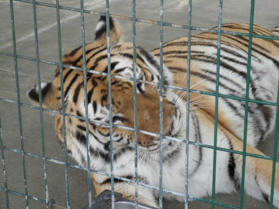 Big Cat Habitat and Gulf Coast Sanctuary:                   Tigers