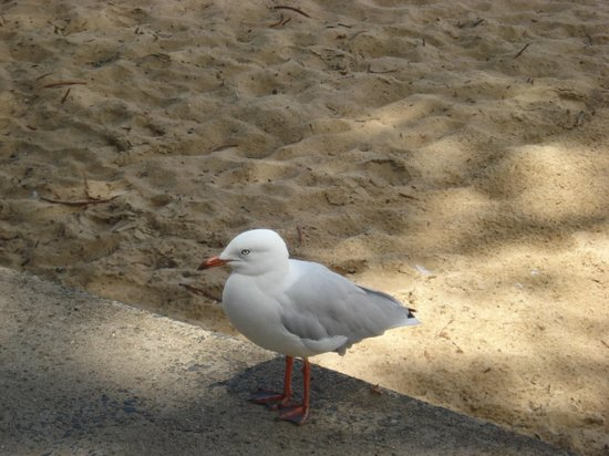 Manly Beach:                   The beach is full of them.