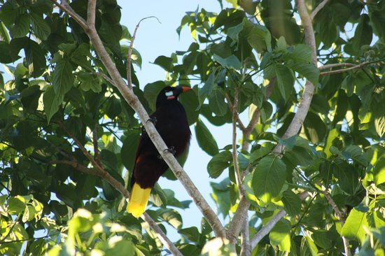 Tacacori EcoLodge:                   Montezuma Oropendola on property