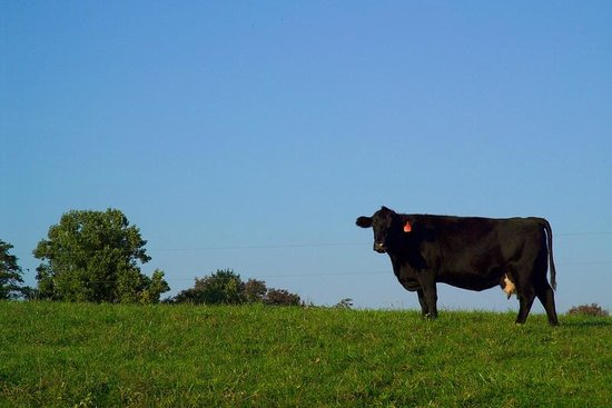 Fort Lewis Lodge: Cattle Farming