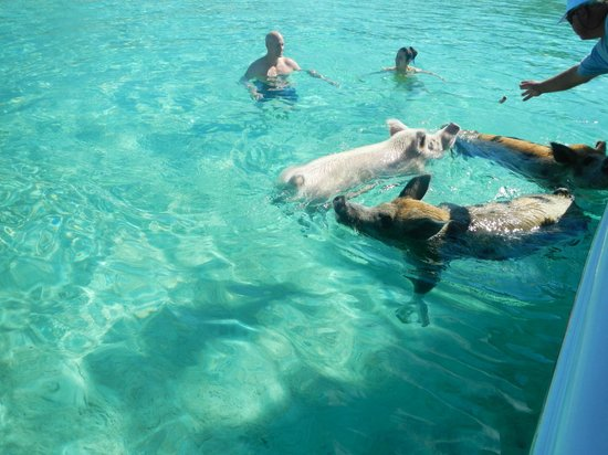 Sandals Emerald Bay Golf, Tennis and Spa Resort:                   swimming with the pigs, amazing!