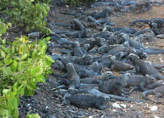 Las Tintoreras:                   iguanas