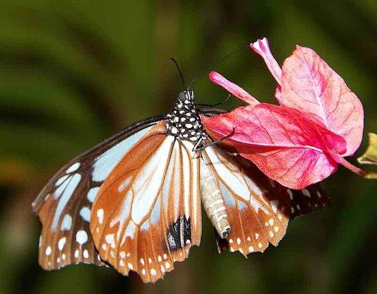 Ryugujo Butterfly Garden: Mountain Tiger Butterfly