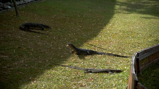 Nexus Resort & Spa Karambunai: mointor lizard